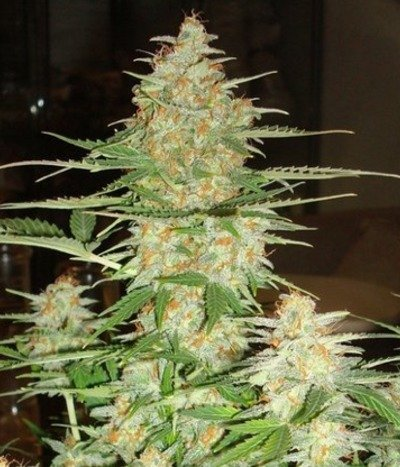 Dna-genetics-60-day-wonder-autoflower