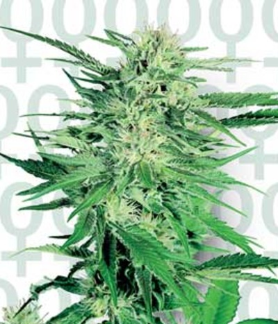 Sensi-seeds-big-bud