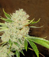 White_russian_serious_seeds1