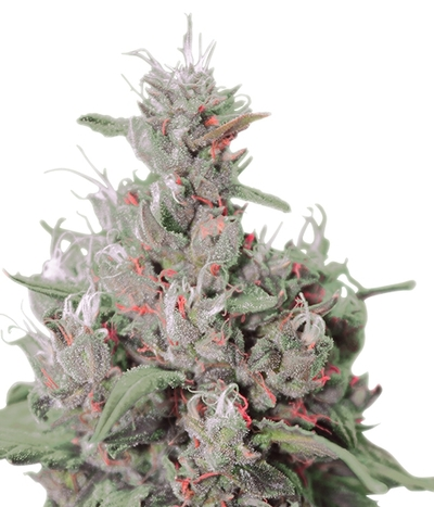 Royal-queen-seeds-royal-creamatic