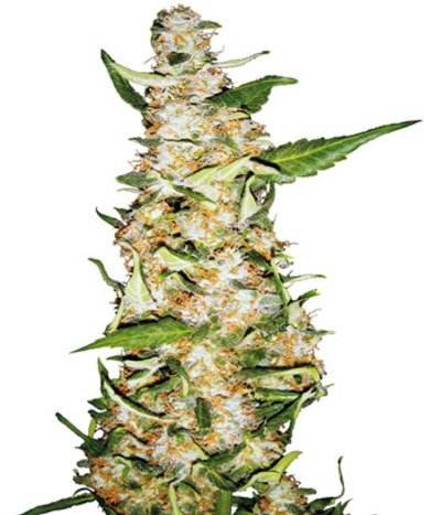 Skunk-1-automatic-photo
