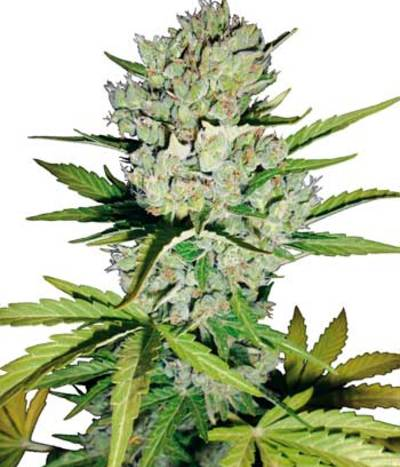 Super-skunk-autoflowering-photo