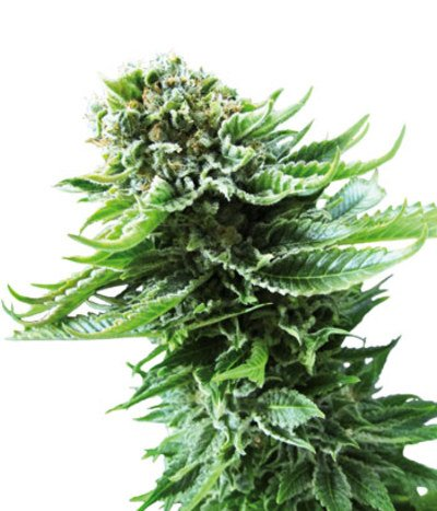 Northern-lights-autoflowering-photo