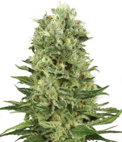 Skunk-autoflowering-photo