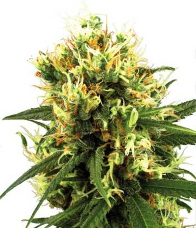 White-haze-autoflowering-photo