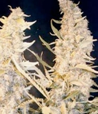 Female_seeds_skunk_special-700x700