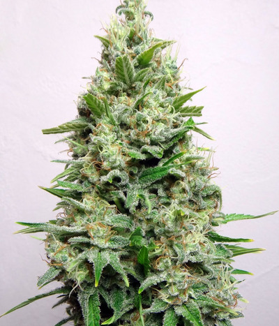 Advanced-seeds-kali-47