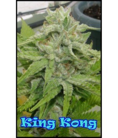 Dr-underground-king-kong