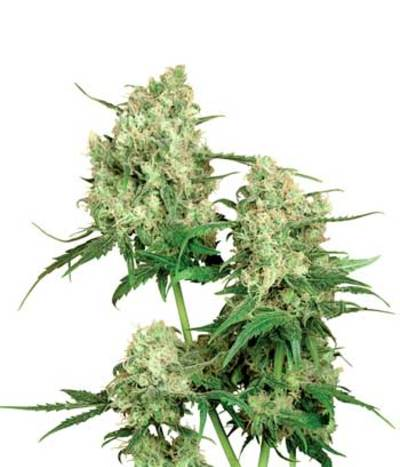 Sensi-seeds-maple-leaf-indica