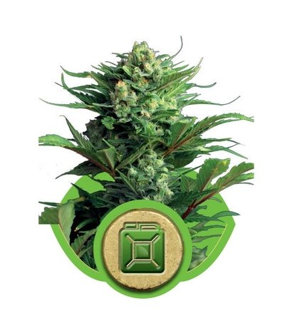 Royal-queen-seeds-diesel-automatic