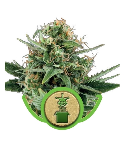 Royal-queen-seeds-royal-jack-automatic