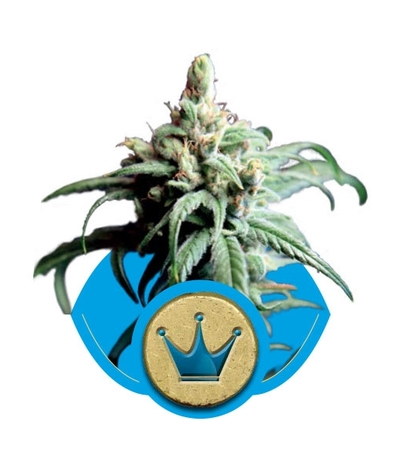 Royal-queen-seeds-royal-highness