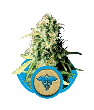 Royal-queen-seeds-royal-medic