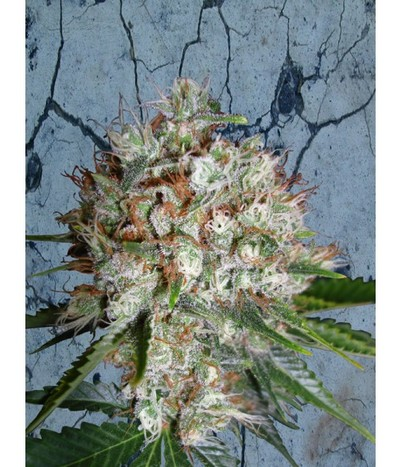 Ministry-of-cannabis-big-bud-xxl