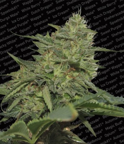 Paradise-seeds-original-cheese-ibl