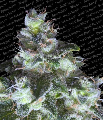 Paradise-seeds-original-white-widow-ibl