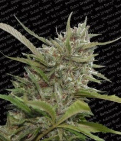 Paradise-seeds-auto-white-berry