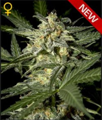 Green-house-seeds-white-widow-auto