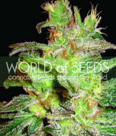 World-of-seeds-northern-light-x-big-bud