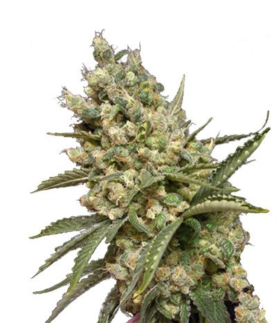 Canadian-seed-lab-original-diesel