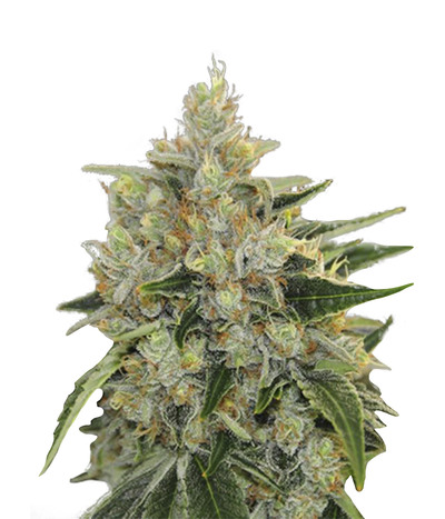 Canadian-seed-lab-canadian-widow