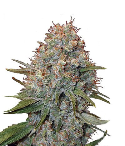 Canadian-seed-lab-double-jack