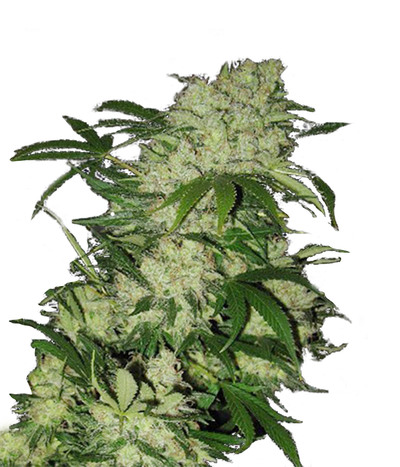 Canadian-seed-lab-grizzly