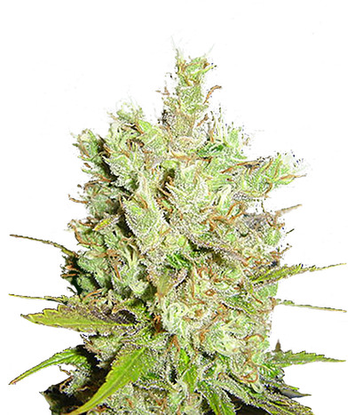 Canadian-seed-lab-royal-canadian-haze