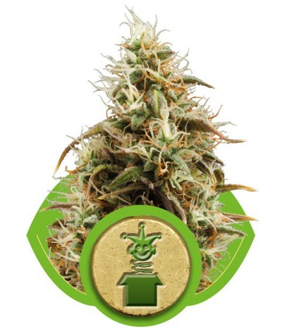 Royal-queen-seeds-jack-herer-automatic