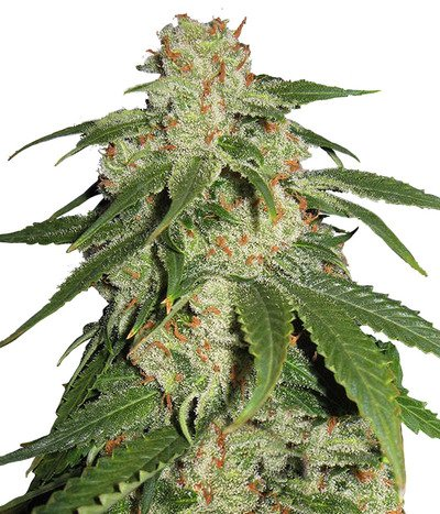 Blk-seeds-jack-herer