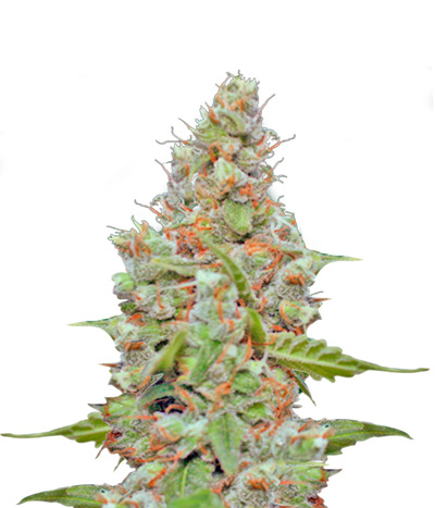 Barney-s-farm-cbd-blue-shark