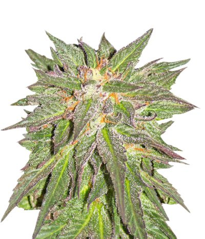 Cbd_critical_cure1
