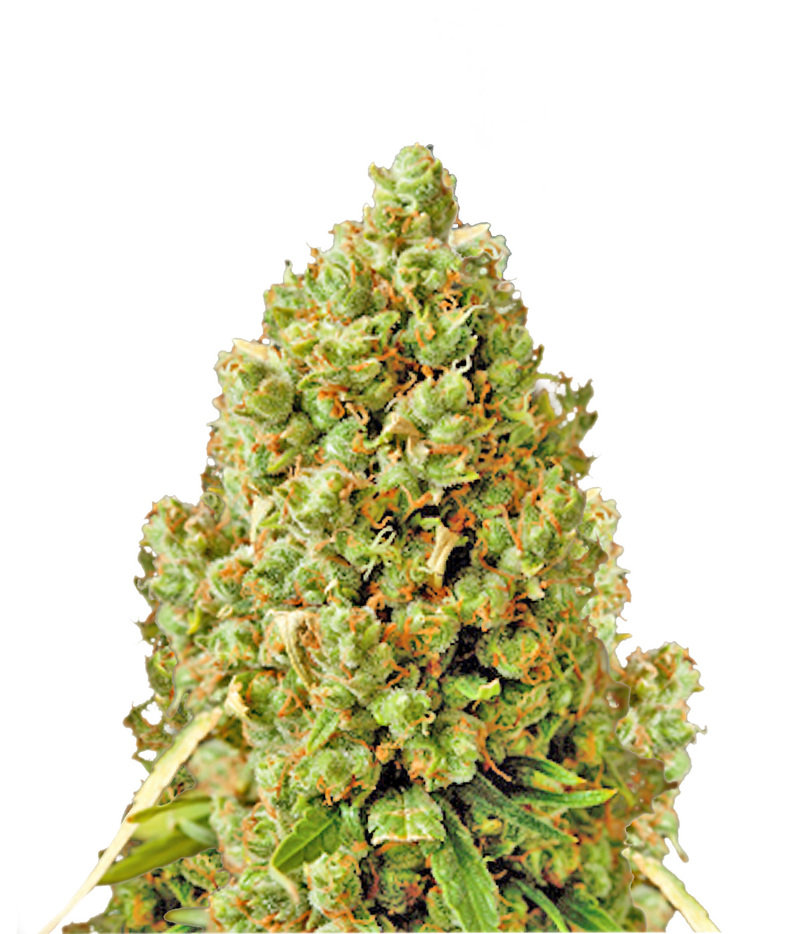 critical kush feminized cannabis seeds