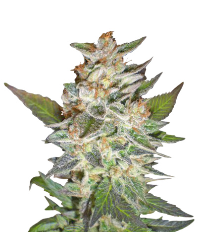 Delicious-seeds-cheese-candy-auto-delicious-candy-auto