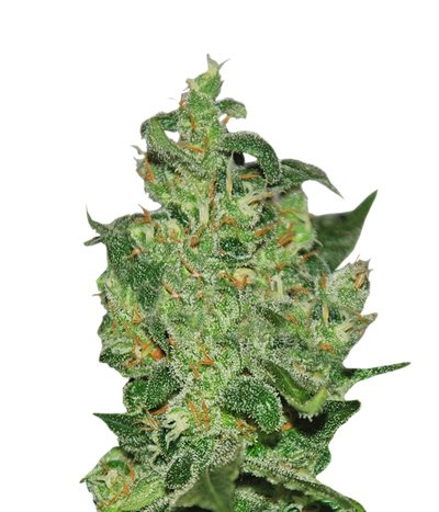 Delicious-seeds-critical-jack-herer-auto