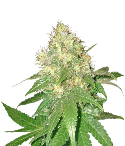 Delicious-seeds-northern-light-blue