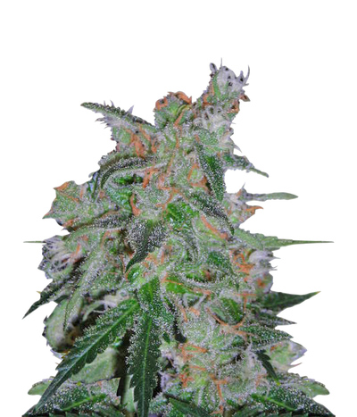 Dna-genetics-60-day-lemon-autoflower