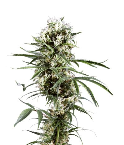 Green-house-seeds-super-lemon-haze