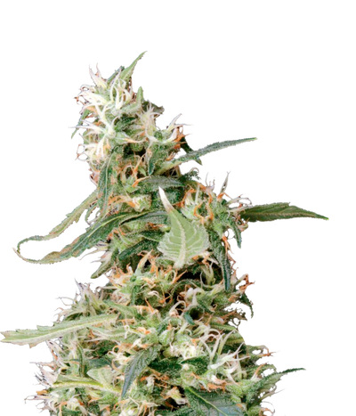 Green-house-seeds-arjan-s-ultra-haze-1