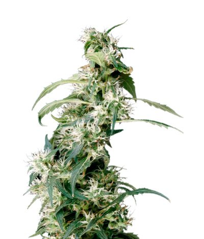 Green-house-seeds-arjan-s-ultra-haze-2