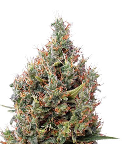 Green-house-seeds-big-bang-auto