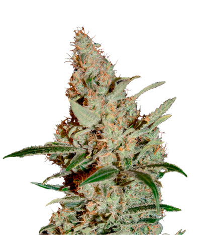 Green-house-seeds-chemdog