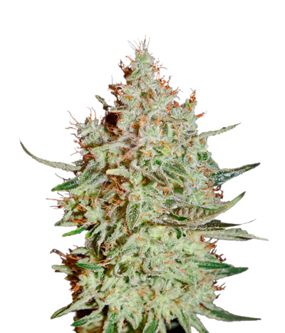 Green-house-seeds-k-train