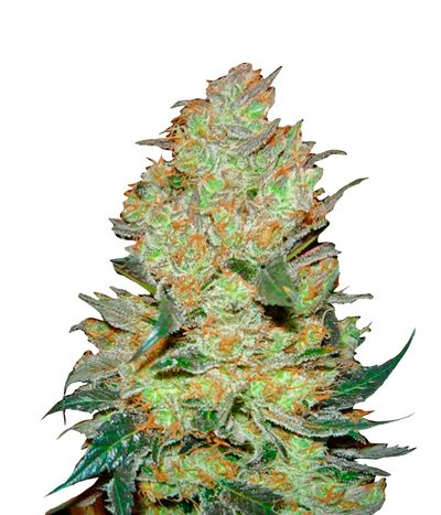 Green-house-seeds-king-s-kush