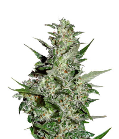 Green-house-seeds-super-critical-auto