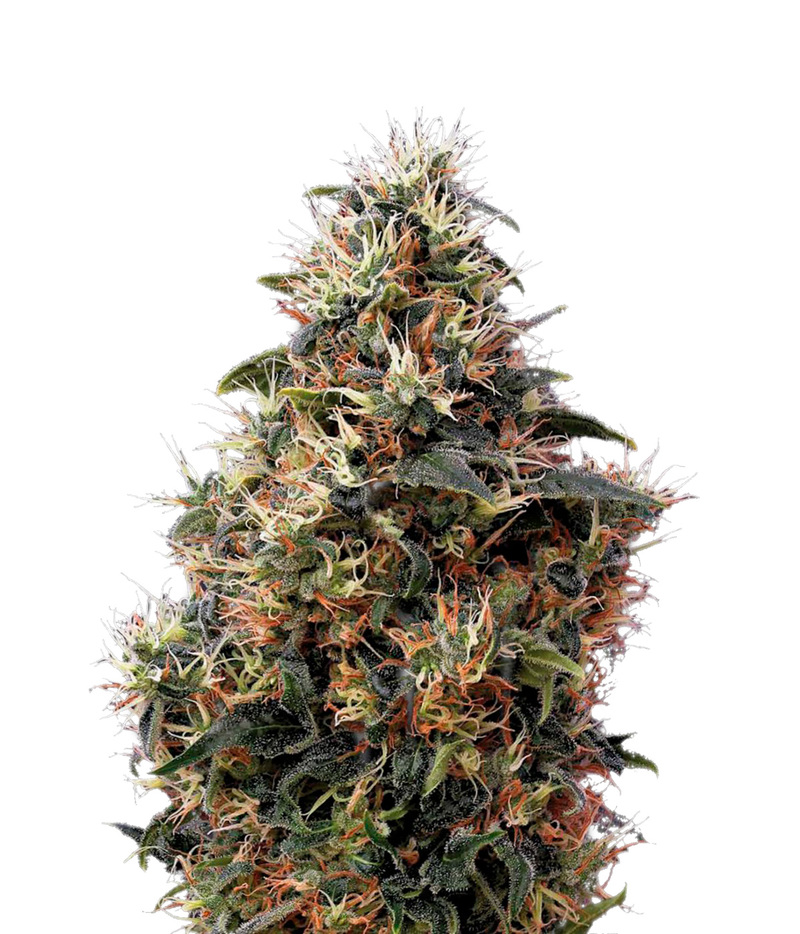 Sweet mango auto autoflowering cannabis seeds from green for Autosweet housse