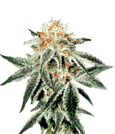 Green-house-seeds-white-widow
