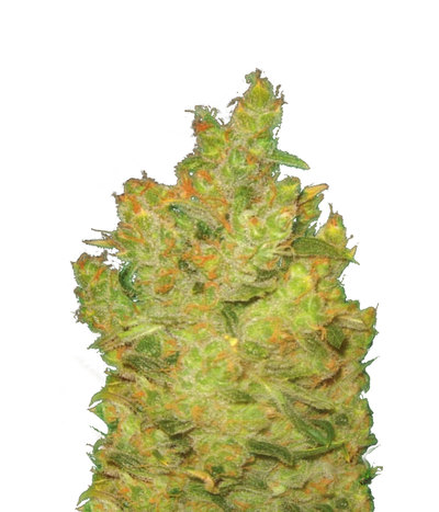 Medical-seeds-jack-la-mota