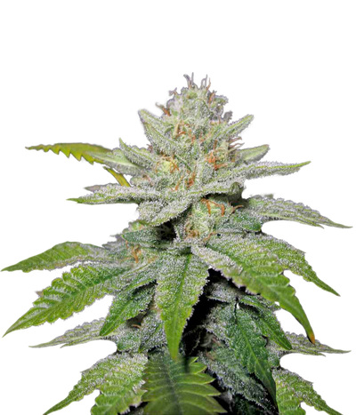 Medical-seeds-no-name