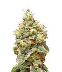 2188_confidential-cheese-www.demarihuana.es